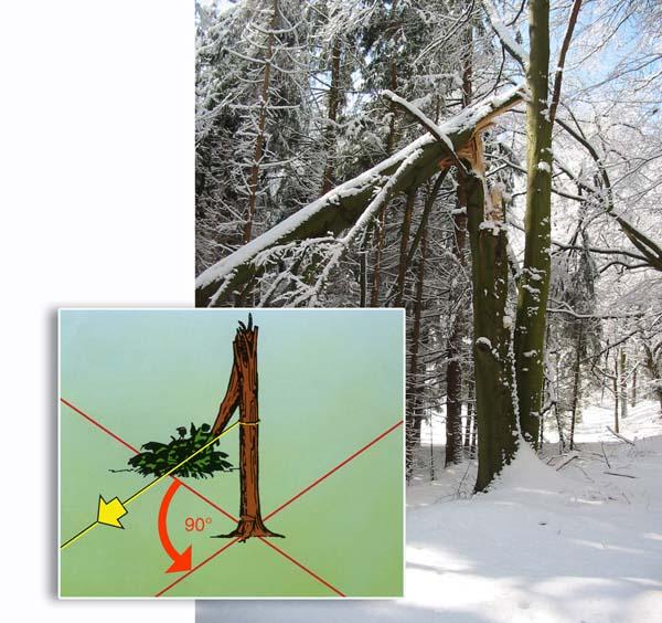 Bild und Grafik um Bäume mit Schneebruch richtig zu fällen
